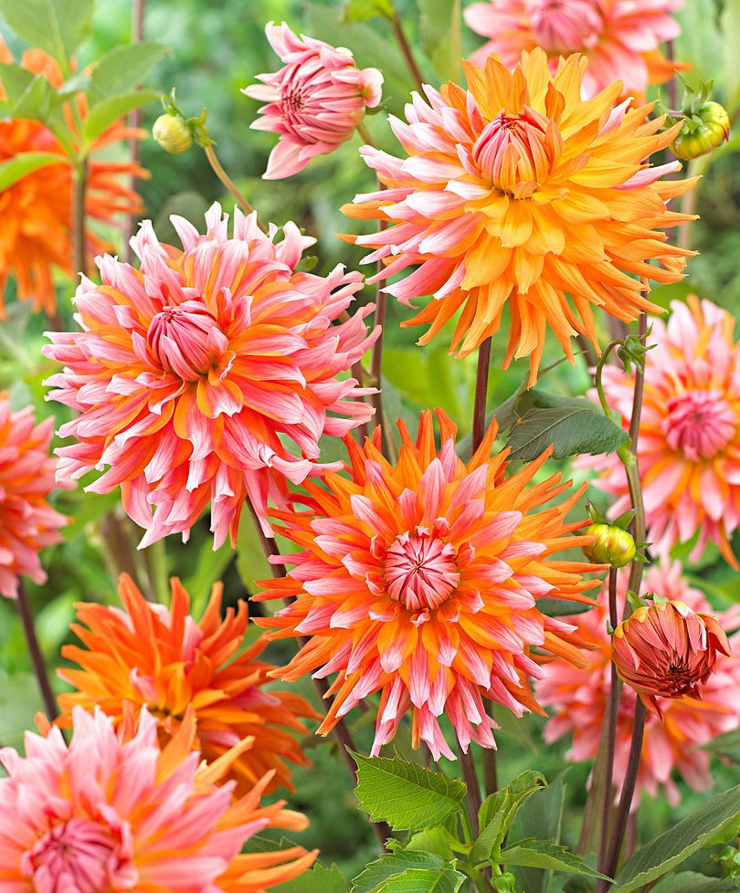 Dahlia-Orange-Turmoil-2