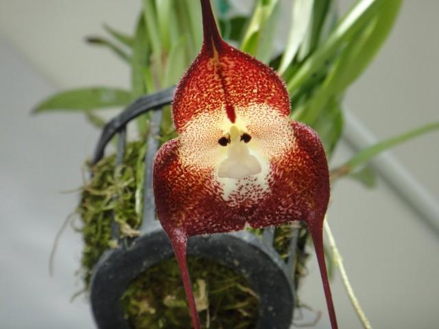 Орхидея Дракула симиа (Dracula simia)