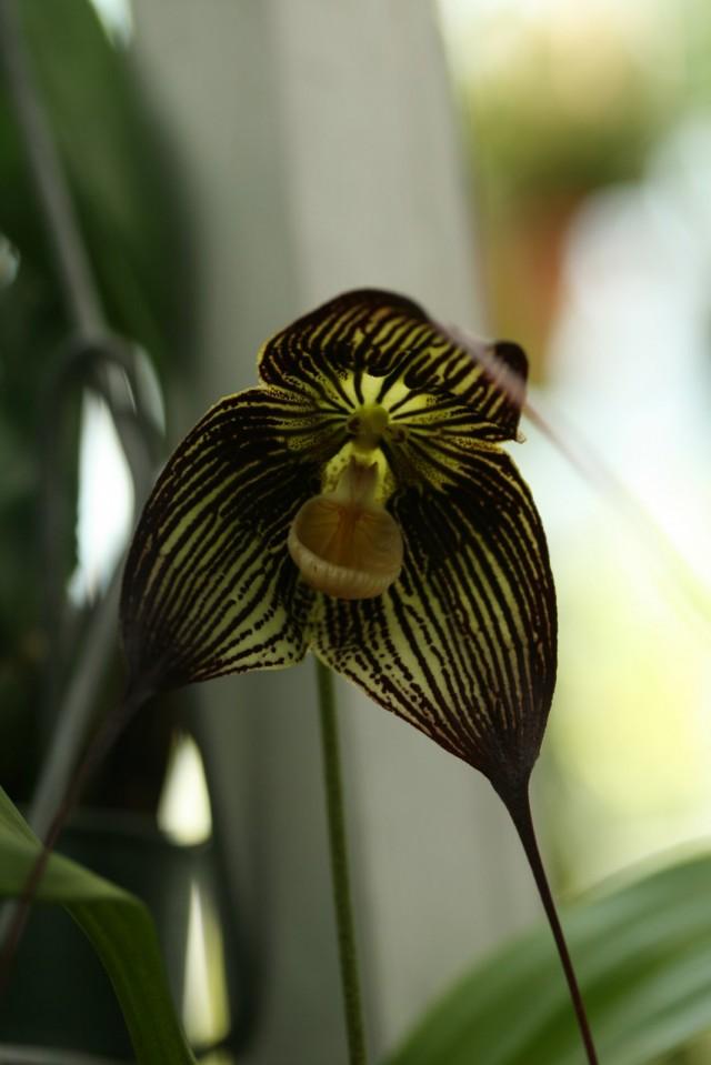 Орхидея Дракула вампира (Dracula vampira)