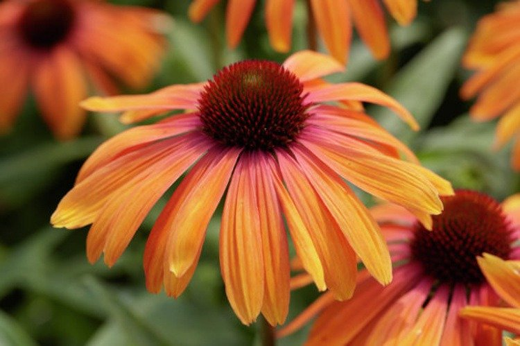Echinacea-purpurea-Rainbow-Marcella-1