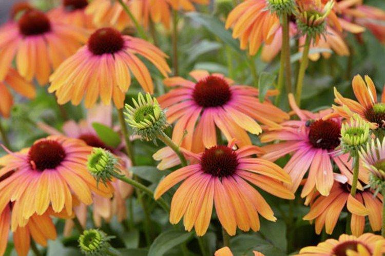 Echinacea-purpurea-Rainbow-Marcella-2