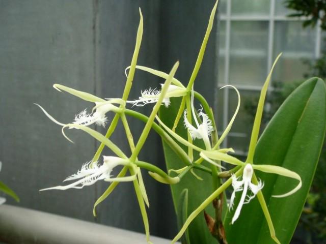 Орхидея Эпидендрум реснитчатый (Epidendrum ciliare)