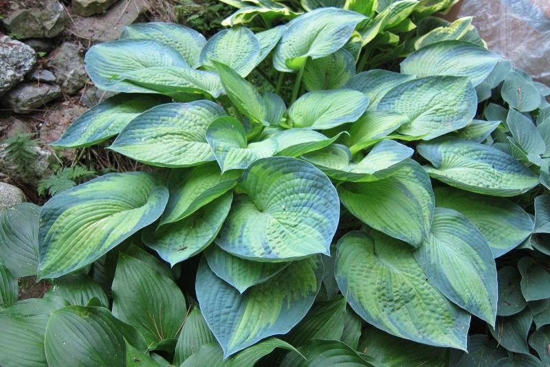 Hosta-Blue-Shadows-1