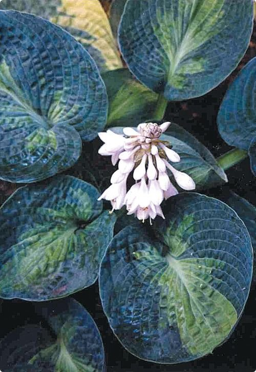 Hosta-Blue-Shadows-3