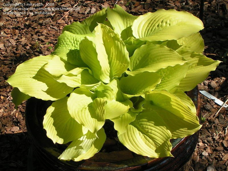 Hosta-Dawns-Early-Light-2
