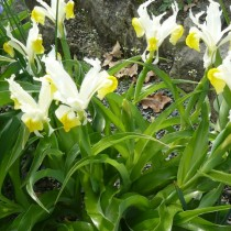 Ирис орхидный (Iris orchioides) или Юнона орхидная (Juno orchioides)
