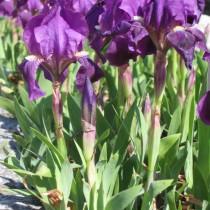 Ирис карликовый (Iris pumila) или Юнона голубая (Juno coerulea)