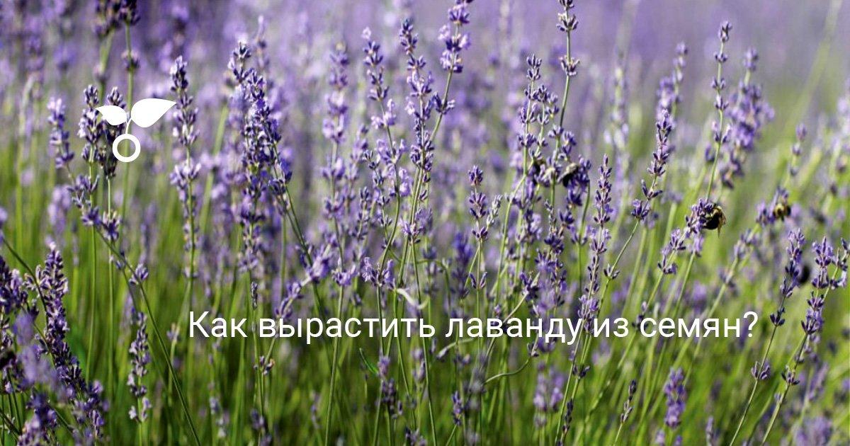 Лаванда из семян - выращивание (фото и видео)