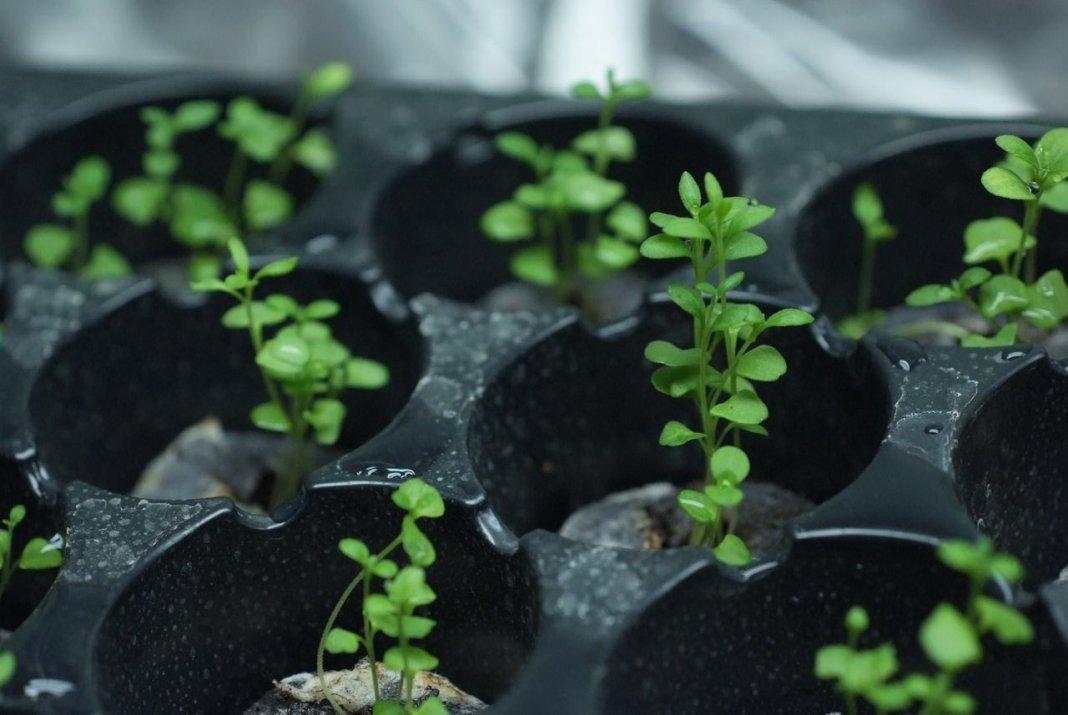 Как выращивать лаванду из рассады 683