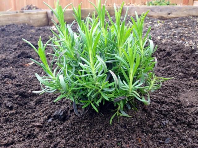 Пересаженный в открытый грунт куст лаванды, выращенный из семян