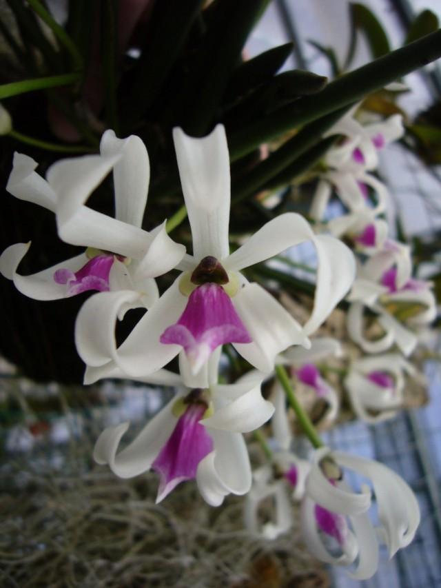 Орхидея Лептотес двуцветный (Leptotes bicolor)