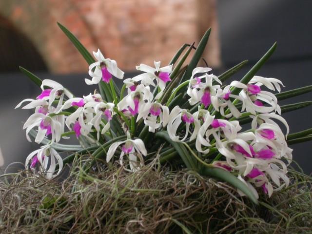 Орхидея Лептотес (Leptotes)