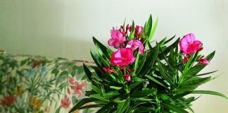 Олеандр обыкновенный (Nerium oleander)