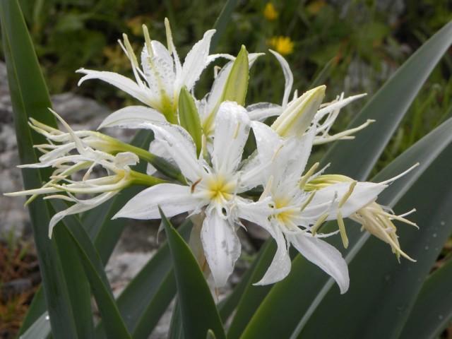 Панкрациум иллирийский (Pancratium illyricum)