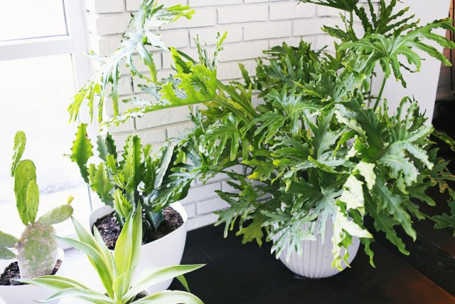 Филодендрон двоякоперистый, или Филодендрон дваждыперистонадрезанный, или Филодендрон Селло (Philodendron bipinnatifidum)