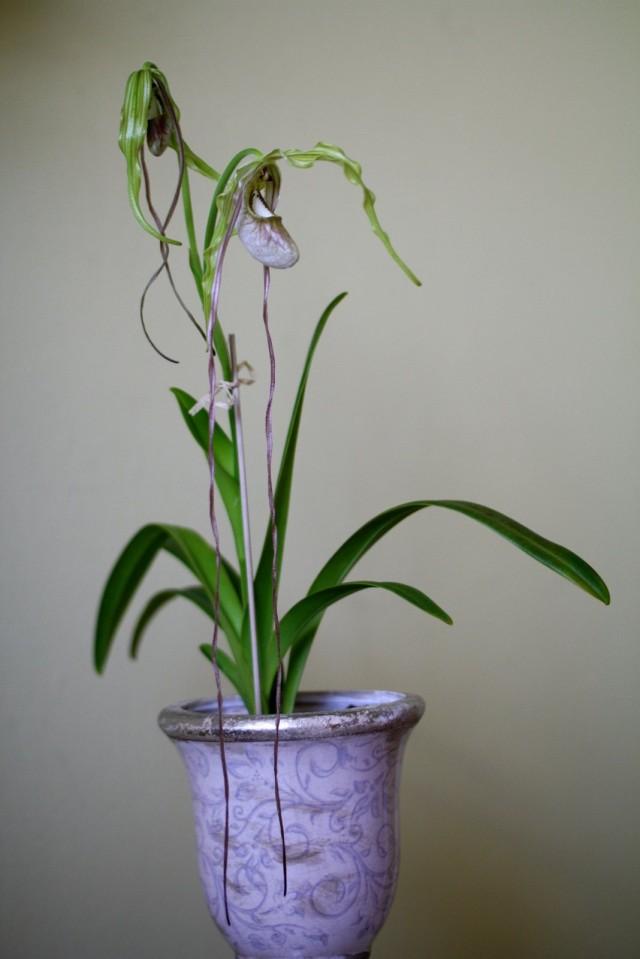 Орхидея Фрагмипедиум хвостатый (Phragmipedium caudatum)