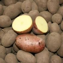 Сорт картофеля для Центрального региона - Аксона