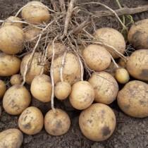 Сорт картофеля для Центрального региона - Алмера