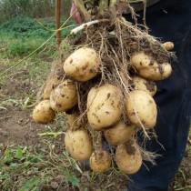 Сорт картофеля для Северного региона - Антонина