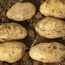 Сорт картофеля для Центрально-Черноземного региона - Аризона