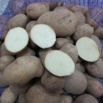 Сорт картофеля для Северного региона - Аврора