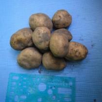 Сорт картофеля для Средневолжского региона - Бельмонда