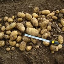 Сорт картофеля для Волго-Вятского региона - Бернина