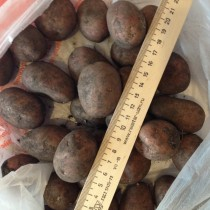 Сорт картофеля для Средневолжского региона - Безенчукский