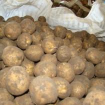 Сорт картофеля для Северо-Кавказского региона - Гермес