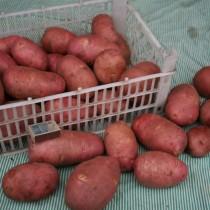 Сорт картофеля для Северного региона - Загадка Питера