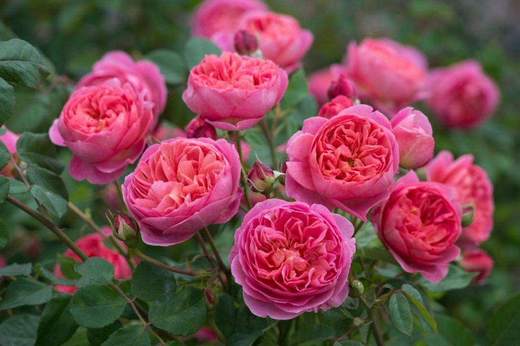 Rosa-Benjamin-Britten-1
