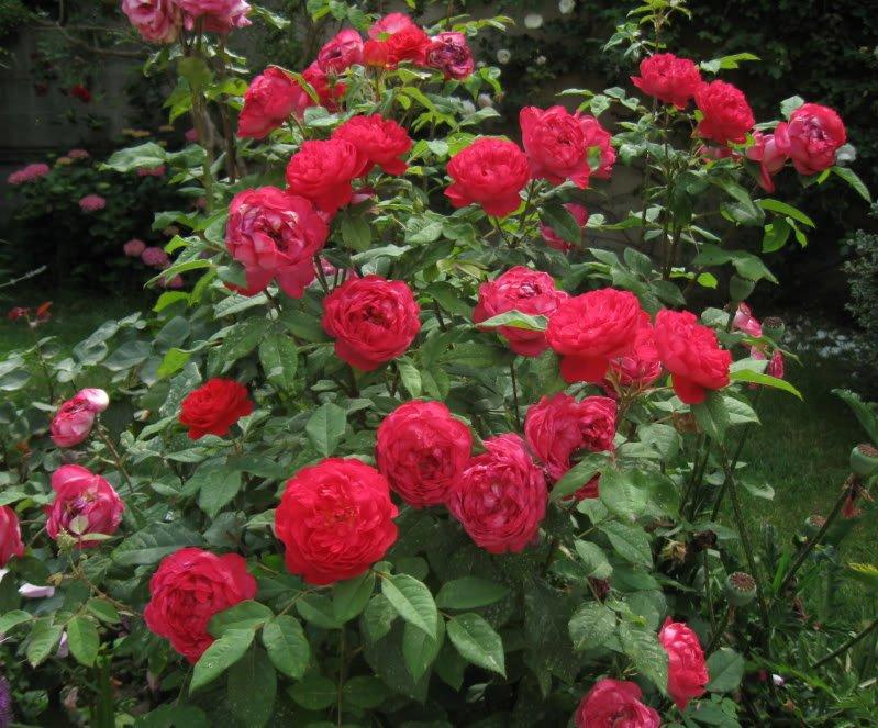 Rosa-Benjamin-Britten-3