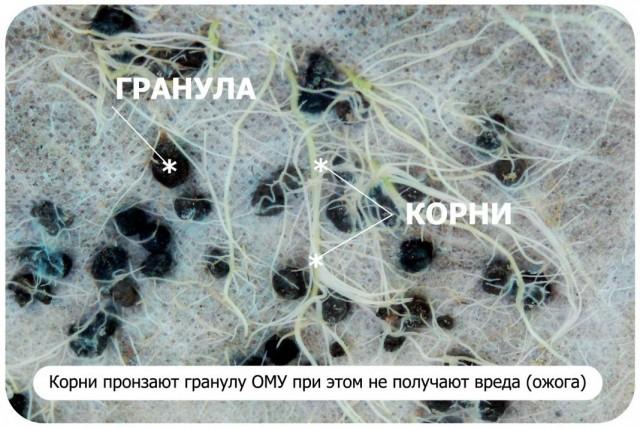 Корни растения получают питание из гранул удобрения ОМУ
