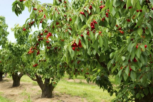 Деревья черешни с плодами