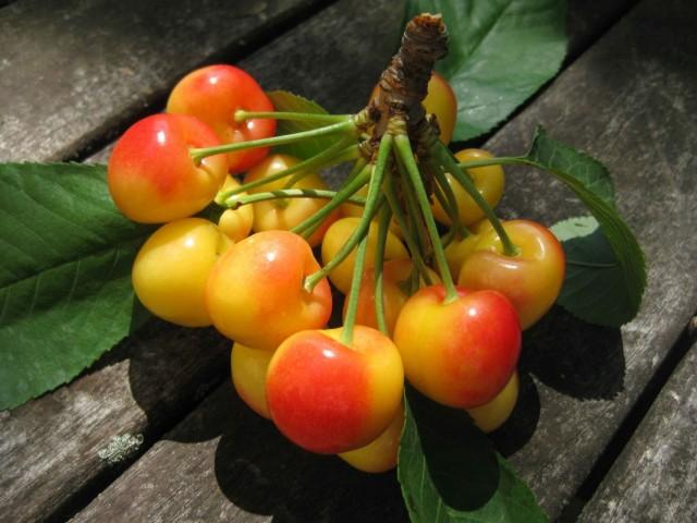 """Гроздь черешни """"Райнер"""" (Prunus avium 'Rainier')"""