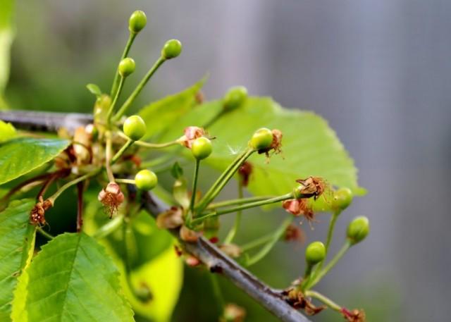 Завязи плодов черешни