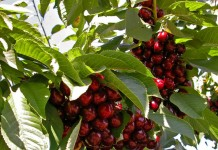 Плоды черешни на дереве
