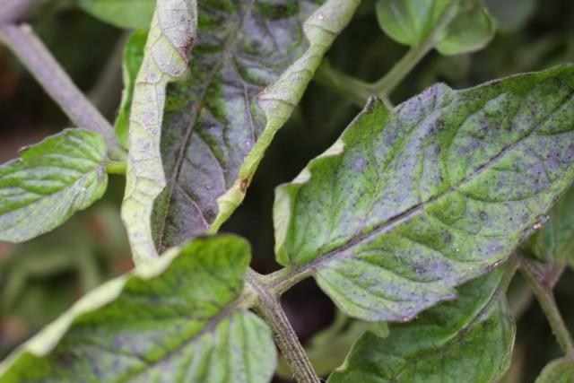 Посинение и скручивание листьев томата может указывать на недостаток фосфора