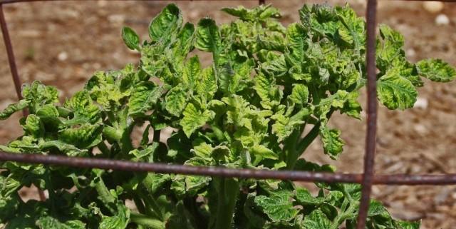 Скручивание листьев томата из-за неправильного ухода