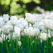 Белые тюльпаны в цветнике