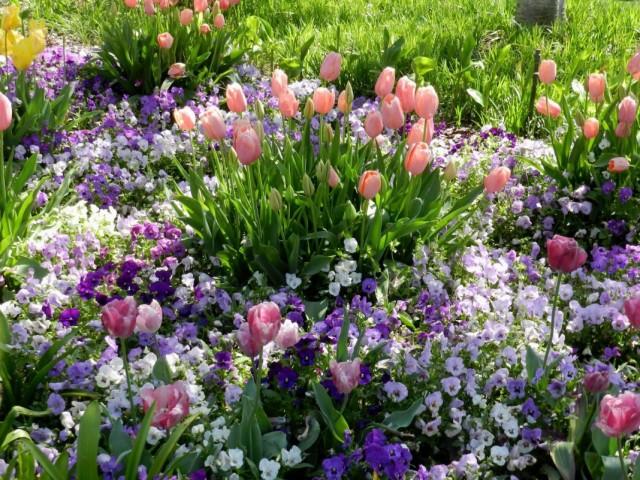 Тюльпаны, обрамлённые белыми виолами для усиления контраста