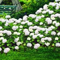 Белые гортензии как яркий акцент в дизайне сада