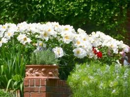 Белые пионы как яркий акцент в дизайне сада