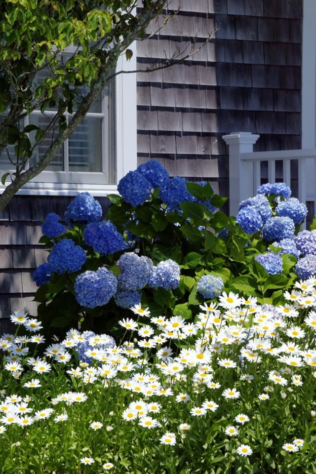 Белые нивяники, как основа для акцента на синие гортензий