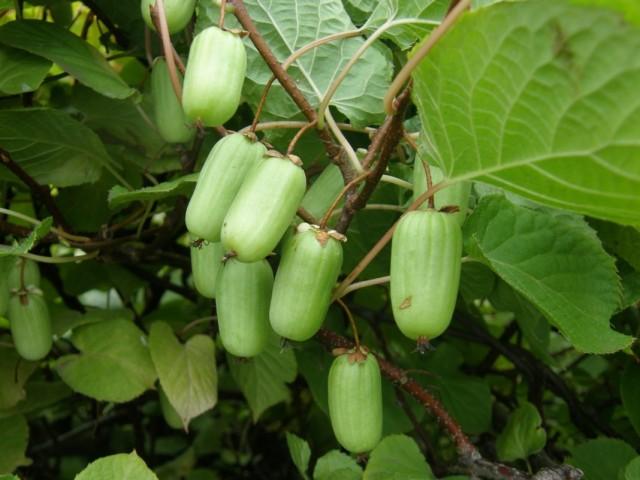 Плодоношение актинидии