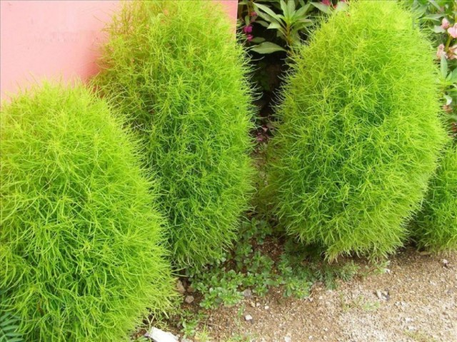 Кохия веничная, или Бассия веничная (Bassia scoparia)
