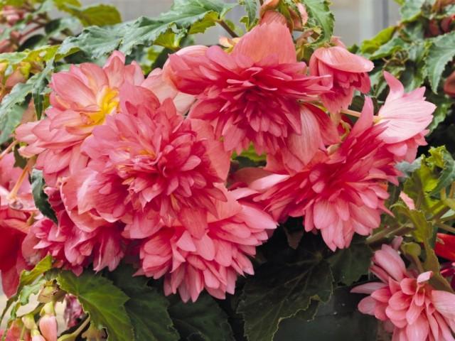 Бегония красивоцветущая 'Funky Pink'