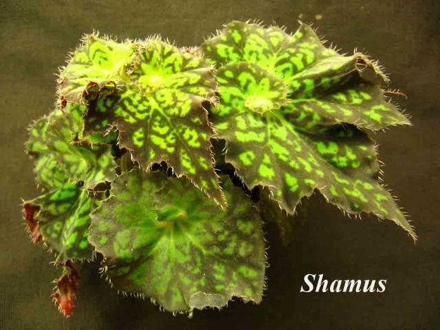 Бегония декоративно-литвенная 'Shamus'