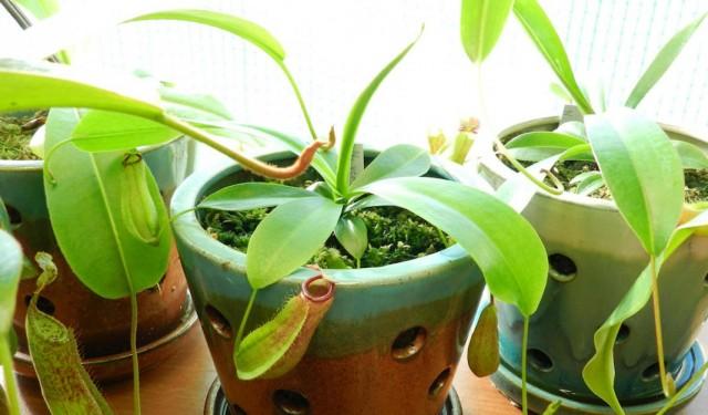 Хищные насекомоядные растения