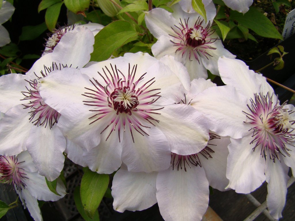Clematis-Fair-Rosamond-1